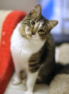 Domestic Mediumhair/Domestic Shorthair Mix Cat for adoption in Encinitas, California - Chaneka