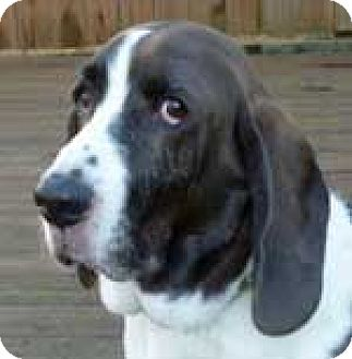 Basset Hound Mix Dog for adoption in Charleston, South Carolina - Riley T