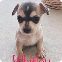 Adopt A Pet :: Whitley - Marlton, NJ