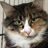 Adopt A Pet :: Ginger - Waco, TX