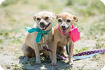 Chihuahua Mix Dog for adoption in Poway, California - DORA