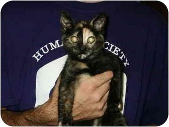 Domestic Shorthair Kitten for adoption in Mason City, Iowa - Tulip