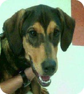 Treeing Walker Coonhound Mix Dog for adoption in Cleveland, Ohio - BANDIT