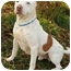 Photo 3 - American Bulldog/American Pit Bull Terrier Mix Dog for adoption in Peoria, Illinois - Ice