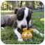 Photo 2 - American Bulldog/Boston Terrier Mix Dog for adoption in Mocksville, North Carolina - Belle