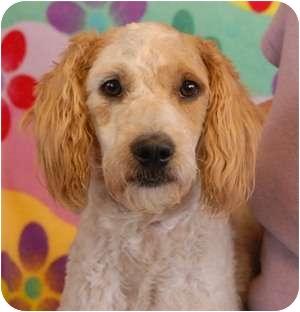 Bearded Collie Mix Dog for adoption in Las Vegas, Nevada - Brady