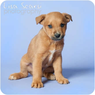 Labrador Retriever/Boxer Mix Puppy for adoption in Tustin, California - Peter