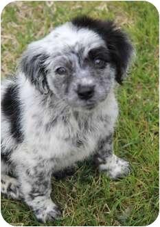 Australian Shepherd/Border Collie Mix Puppy for adoption in Yuba City, California - Charley