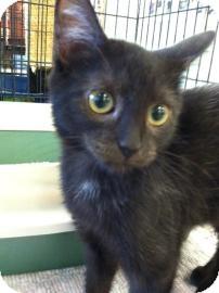 Domestic Shorthair Kitten for adoption in Columbus, Georgia - Luna 7423