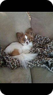 Papillon Dog for adoption in conroe, Texas - Delta