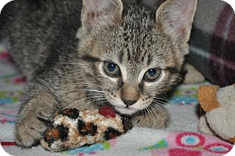 Domestic Shorthair Kitten for adoption in Puyallup, Washington - Bouncy