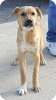 Boxer Mix Dog for adoption in Peru, Indiana - Brody