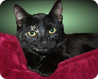 Domestic Shorthair Cat for adoption in Rochester, New York - Cherie