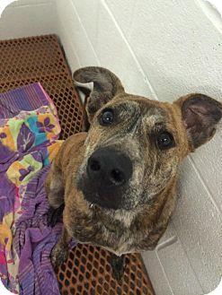 Labrador Retriever/Boxer Mix Dog for adoption in Martinez, Georgia - Rocky