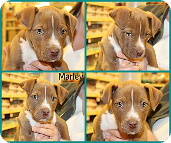 American Pit Bull Terrier Mix Puppy for adoption in Yuba City, California - Marley