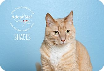 Domestic Shorthair Cat for adoption in Friendswood, Texas - Shades
