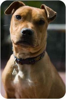 Pit Bull Terrier Mix Dog for adoption in Portland, Oregon - Peyton