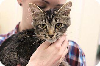 Domestic Mediumhair Cat for adoption in Atlanta, Georgia - Kensky