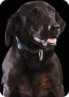 Labrador Retriever Mix Dog for adoption in Minneapolis, Minnesota - Manda
