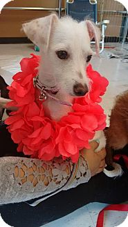 Italian Greyhound/Terrier (Unknown Type, Small) Mix Puppy for adoption in San Diego, California - Monique