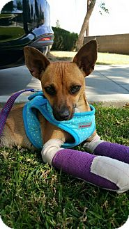 Miniature Pinscher/Chihuahua Mix Puppy for adoption in West LA, California - SOFIA