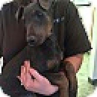 Doberman Pinscher Mix Puppy for adoption in Arlington, Virginia - Titan