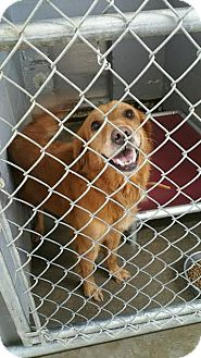 Golden Retriever Dog for adoption in Sandersville, Georgia - Sky