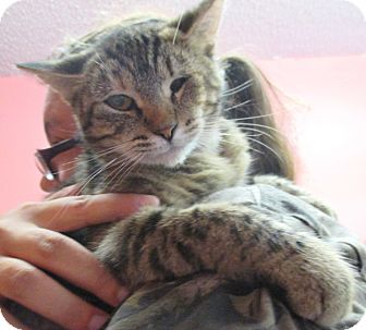 Domestic Shorthair Cat for adoption in Reeds Spring, Missouri - Rosemary
