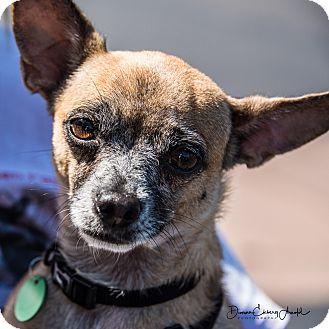 Chihuahua Mix Dog for adoption in San Marcos, California - Ella