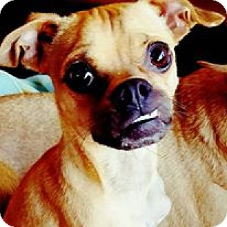 Pug/Chihuahua Mix Puppy for adoption in Los Angeles, California - Scooby