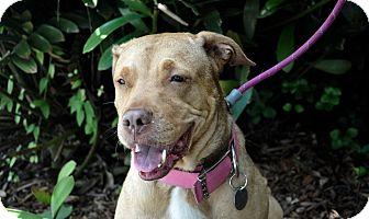 Labrador Retriever/Shar Pei Mix Dog for adoption in Deltona, Florida - HOLLY