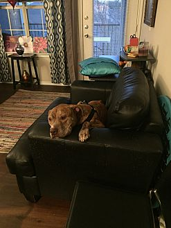 American Staffordshire Terrier Mix Dog for adoption in San Marcos, Texas - Ace