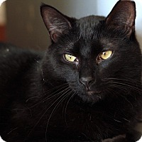 Domestic Shorthair Kitten for adoption in St. Louis, Missouri - Les McCann