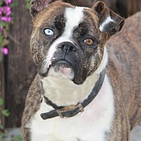 Boxer Dog for adoption in Los Angeles, California - Zoey II (CP)