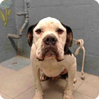 American Bulldog/Boxer Mix Dog for adoption in Beverly Hills, California - A5072078 - Lancaster