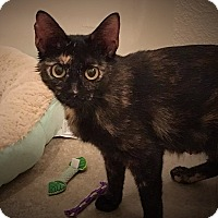 Adopt A Pet :: Serafina - Keller, TX