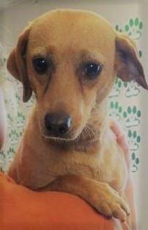 Dachshund Mix Dog for adoption in Visalia, California - Hope