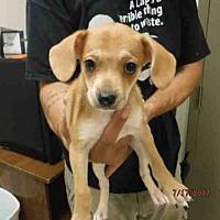Adopt A Pet :: A575100 - Oroville, CA