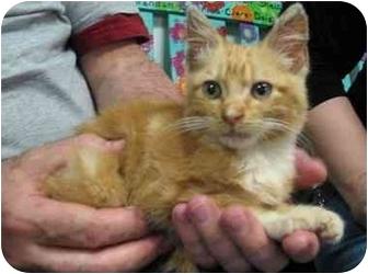 Domestic Shorthair Kitten for adoption in Houston, Texas - Frito
