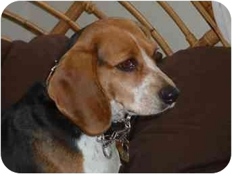 Beagle Dog for adoption in Ventnor City, New Jersey - ABBY 2