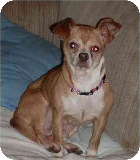 Chihuahua Mix Dog for adoption in Homer, New York - Ginger