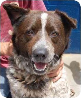 Australian Shepherd/Akita Mix Dog for adoption in Inman, South Carolina - Tucker