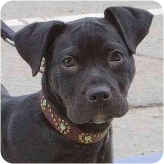 American Pit Bull Terrier/Labrador Retriever Mix Puppy for adoption in Berkeley, California - Chika