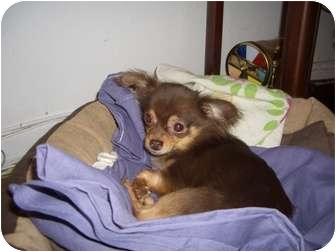 Chihuahua Dog for adoption in Long Beach, New York - Fudge