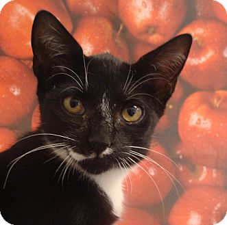 Domestic Shorthair Kitten for adoption in Albany, New York - Lea