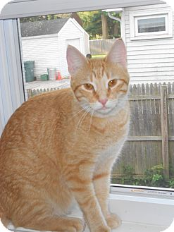 Domestic Shorthair Cat for adoption in Manchester, Connecticut - Doodle