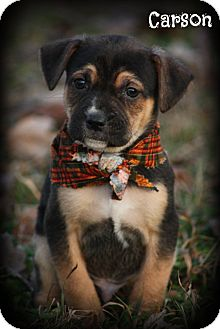 Rottweiler/Labrador Retriever Mix Puppy for adoption in Cranford, New Jersey - Carson