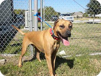 Hound (Unknown Type)/Boxer Mix Dog for adoption in Schertz, Texas - Ronnie