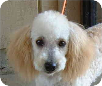 Miniature Poodle Puppy for adoption in San Diego (all areas), California - April-I'VE BEEN ADOPTED!!!