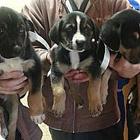 Adopt A Pet :: Aussie pups!*ADOPTED!* - Chicago, IL